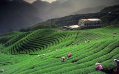 Luxuryvolt's top rates tea estate stays of India