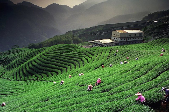Top Luxury Tea Garden Stays in India | luxuryvolt.com